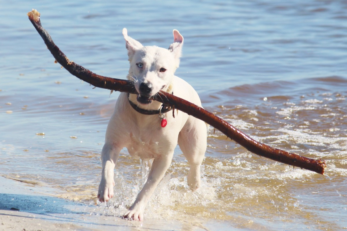 Vets see many dogs with stick related injuries and advise owners not to let their dogs play with sticks