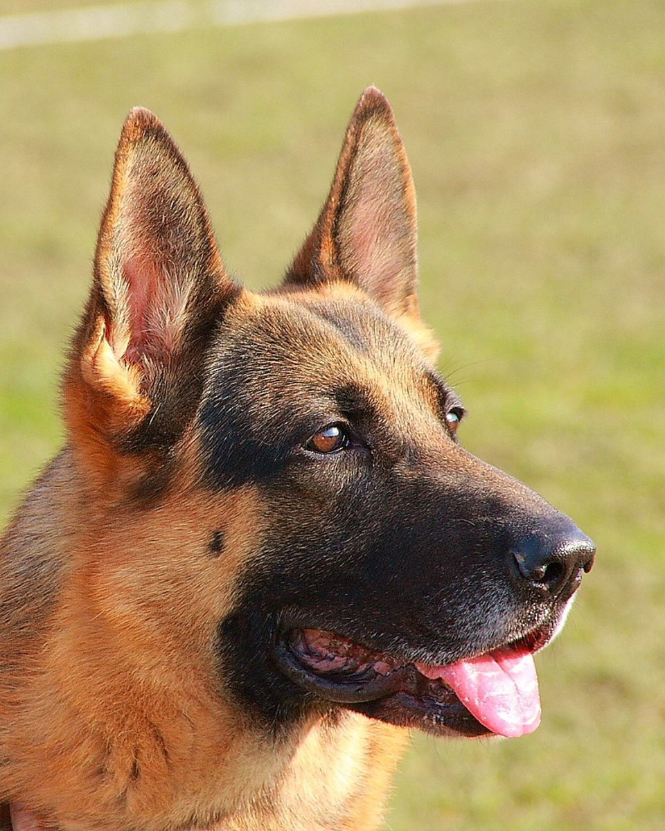 Up-close photo of the German Shepherd's head.  Notice the dog's straight ears that sit perpendicular to the ground.