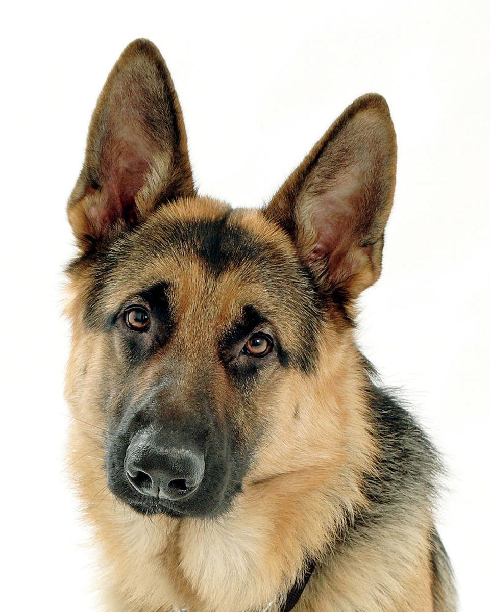 The German Shepherd: World's greatest dog?