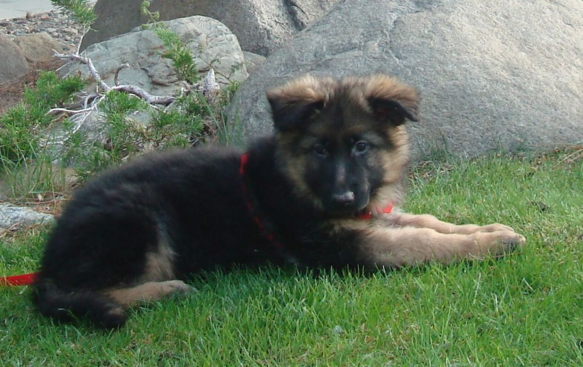 German Shepherd during its puppy stages of development.