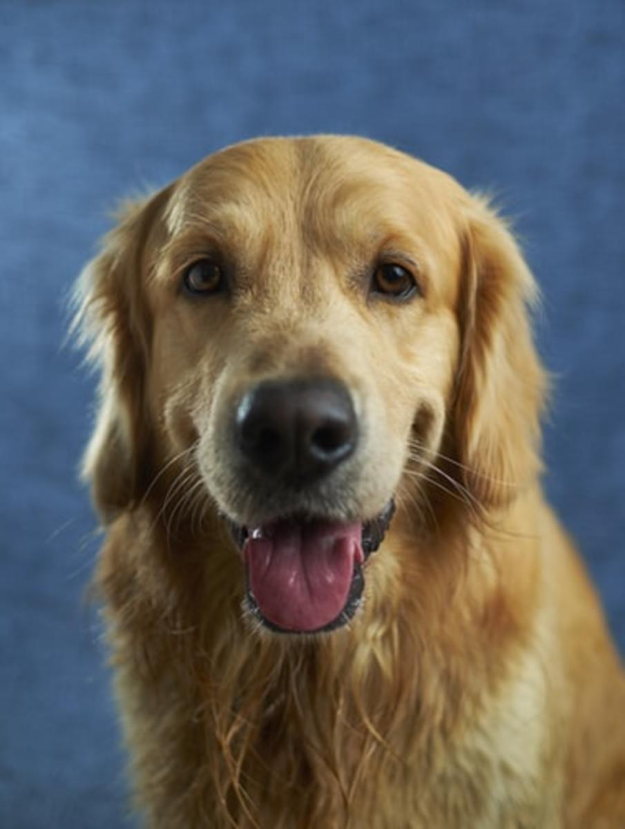Golden Retriever smiles for the camera.