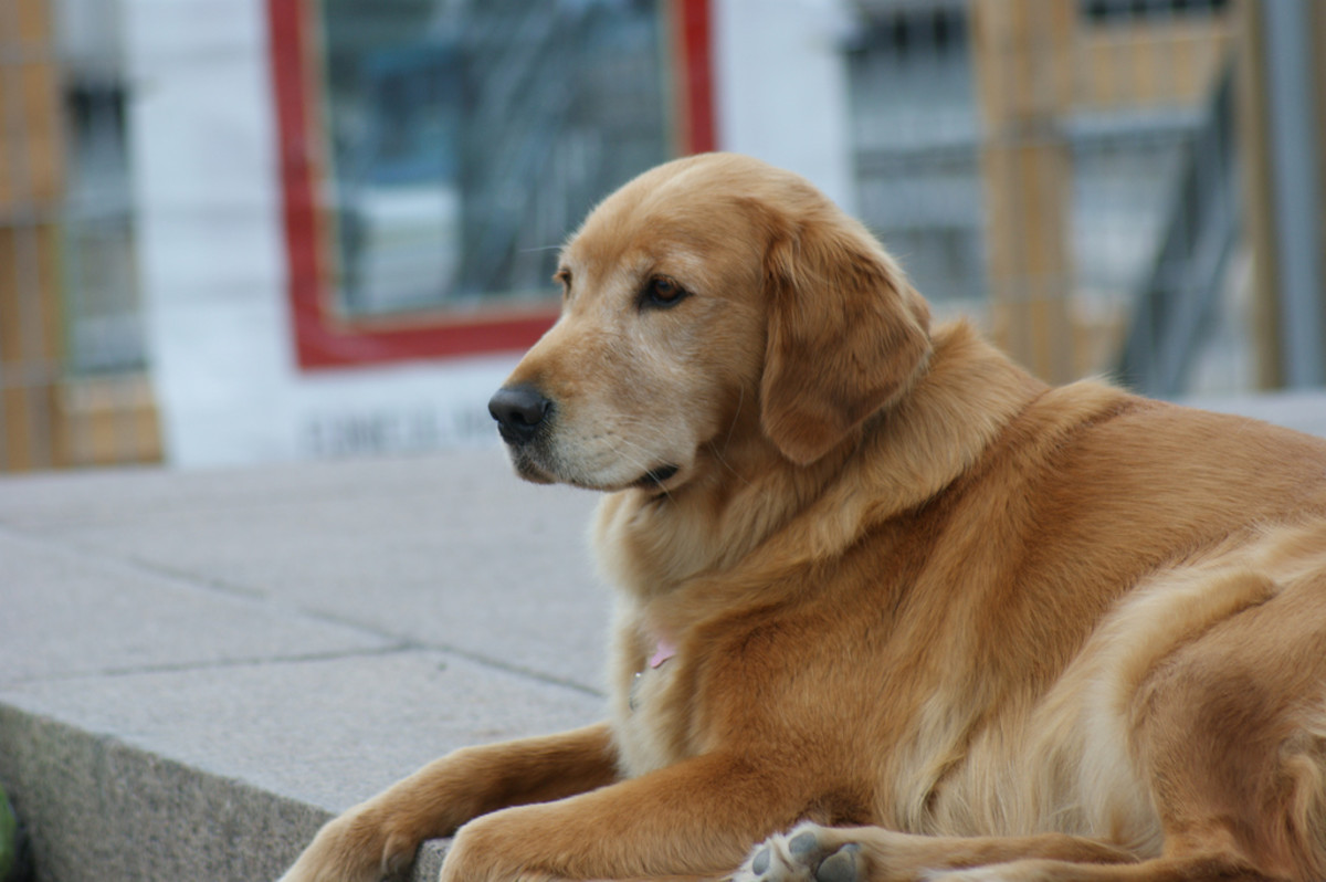 Beautiful Golden Retriever relaxing on a porch.