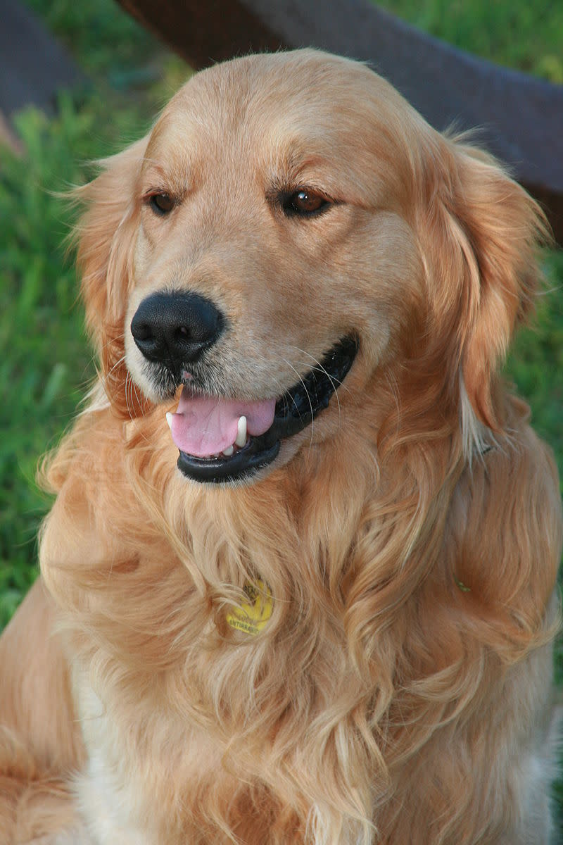 Adult Golden Retriever.
