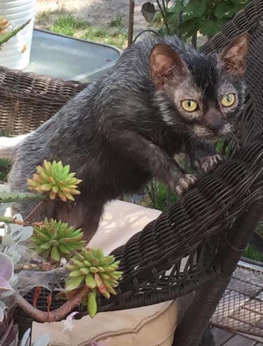 The Lykoi is a cat with a wolf-like appearance.