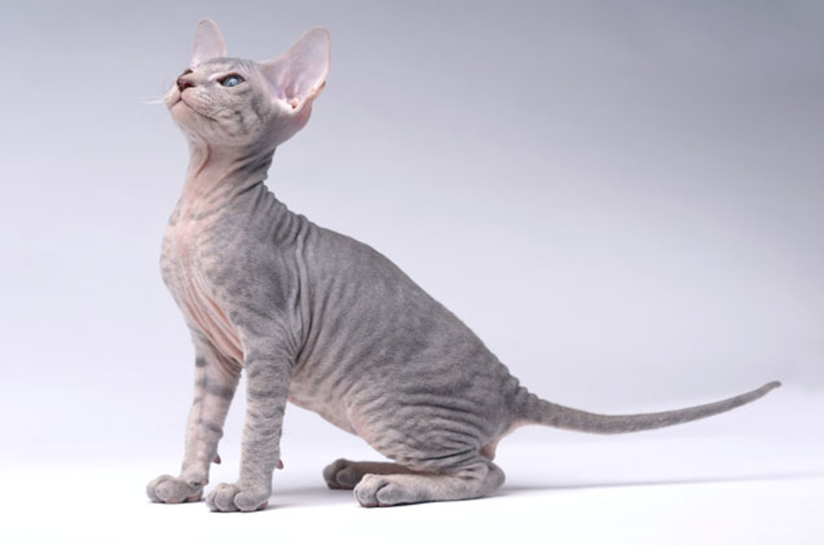 Peterbald is one of the most expensive cat breeds in the world.