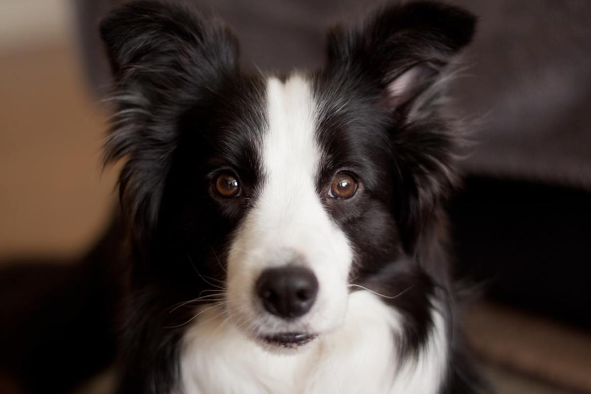 Long-haired Border Collie.