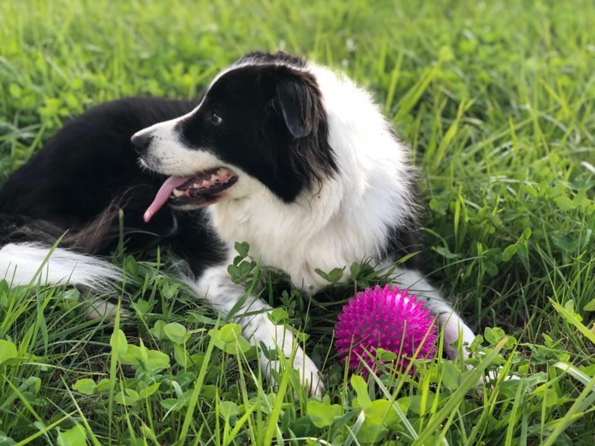 Border Collie playing fetch with her owner.