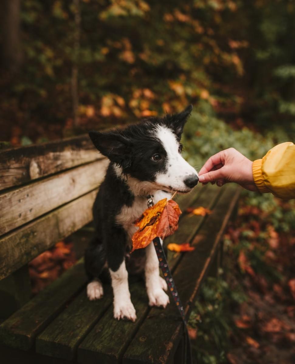 An adorable Border Collie puppy.