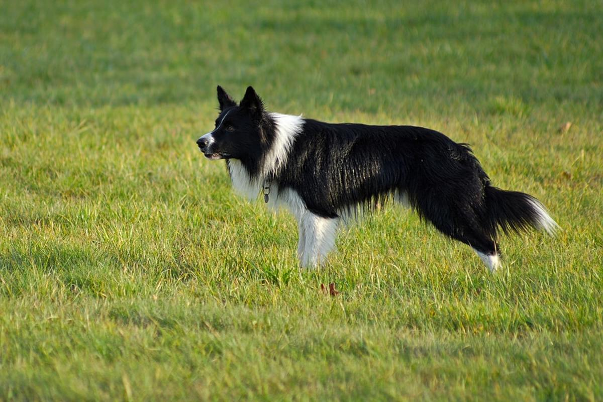 Border Collie prepares to herd flock of sheep.
