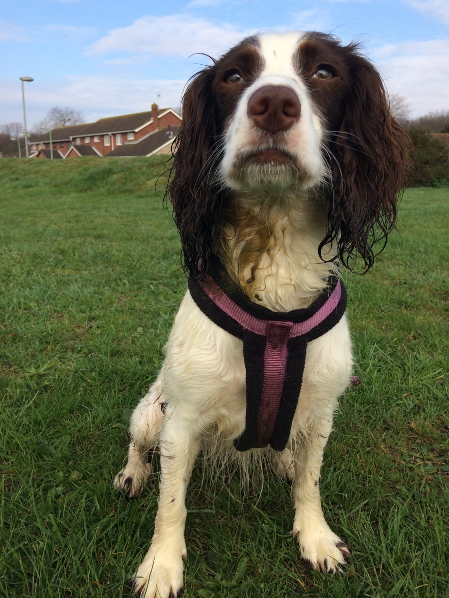 Photo 2 of a spaniel. The same dog as above, but now she is sitting correctly. Her knees are flat to her sides and her hind feet are tucked neatly beneath them.