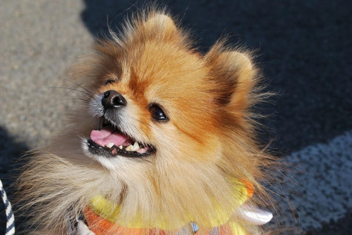 pros-and-cons-of-owning-a-pomeranian
