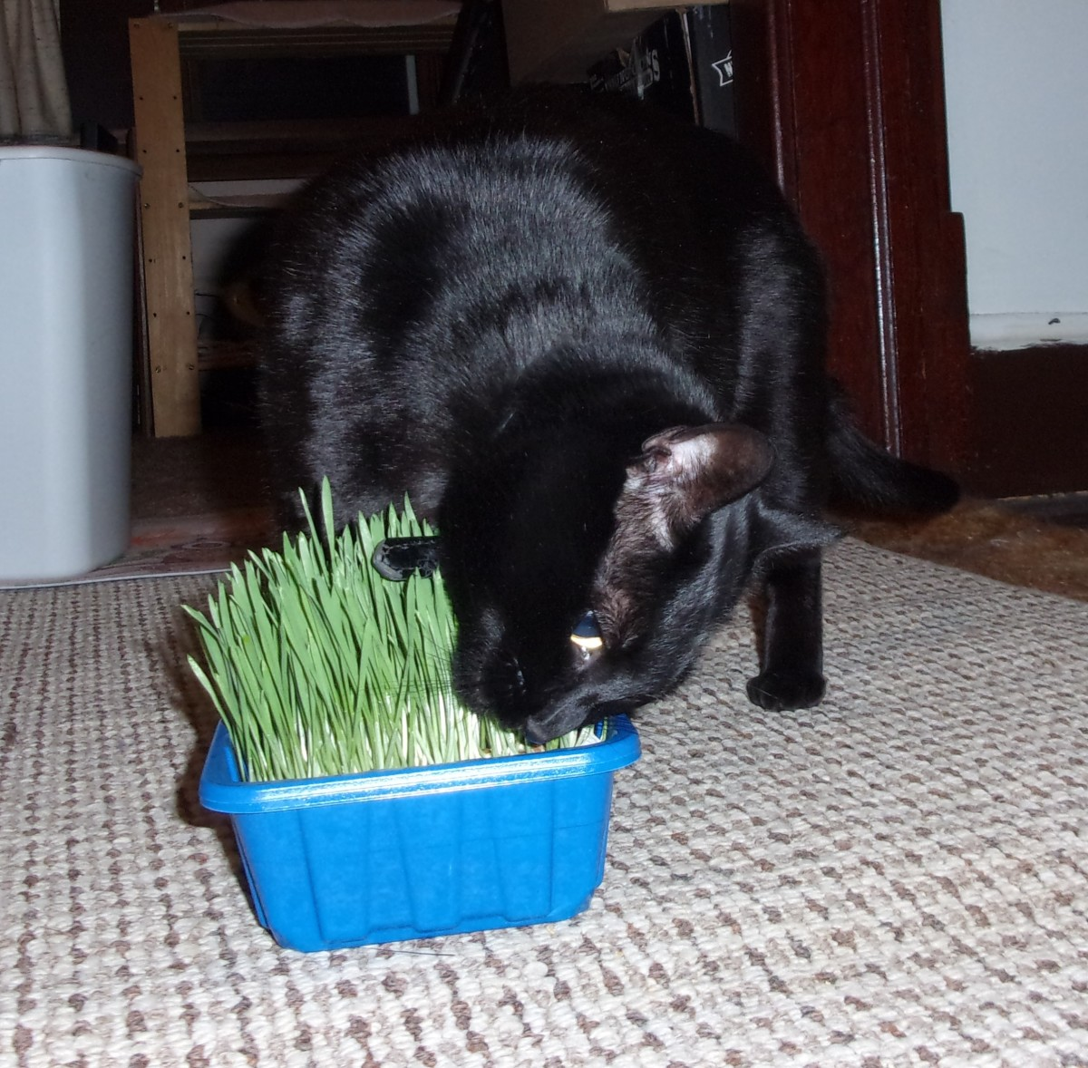 Lucy comes running when a fresh batch of wheat grass is ready.
