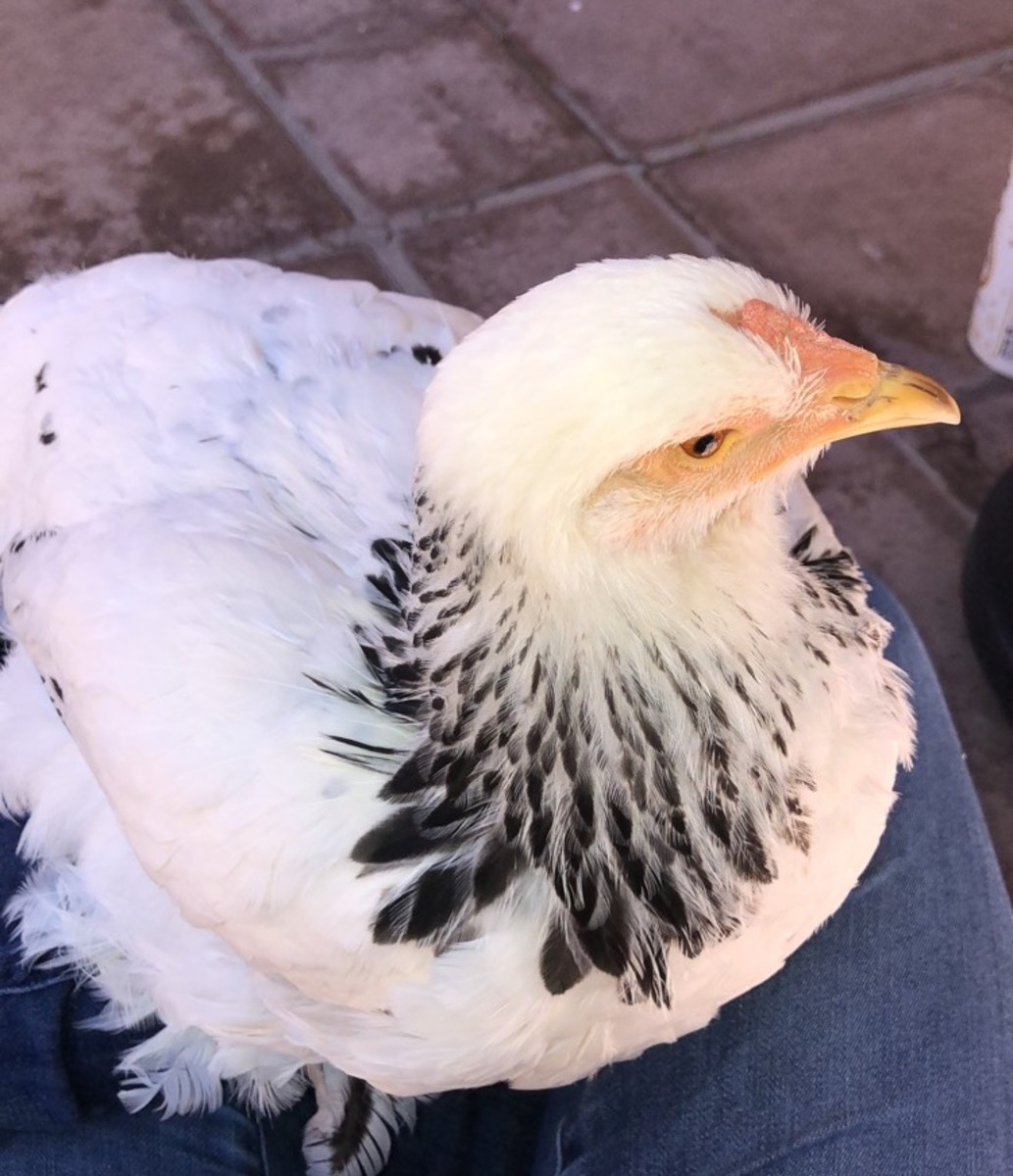 My own special needs chicken, Teba, enjoys her cuddles and pampered life.