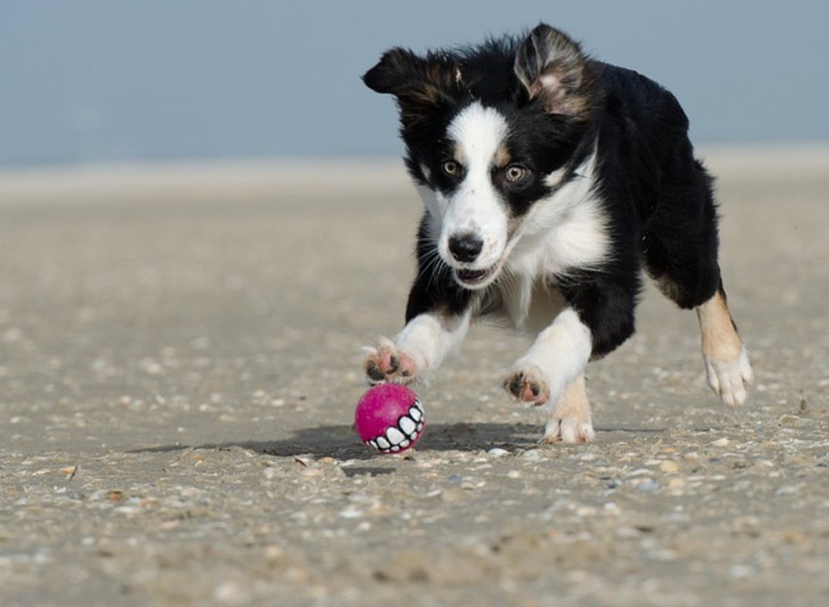 This border collie's eyes are fixated on the ball and are dilated to increase visual acuity