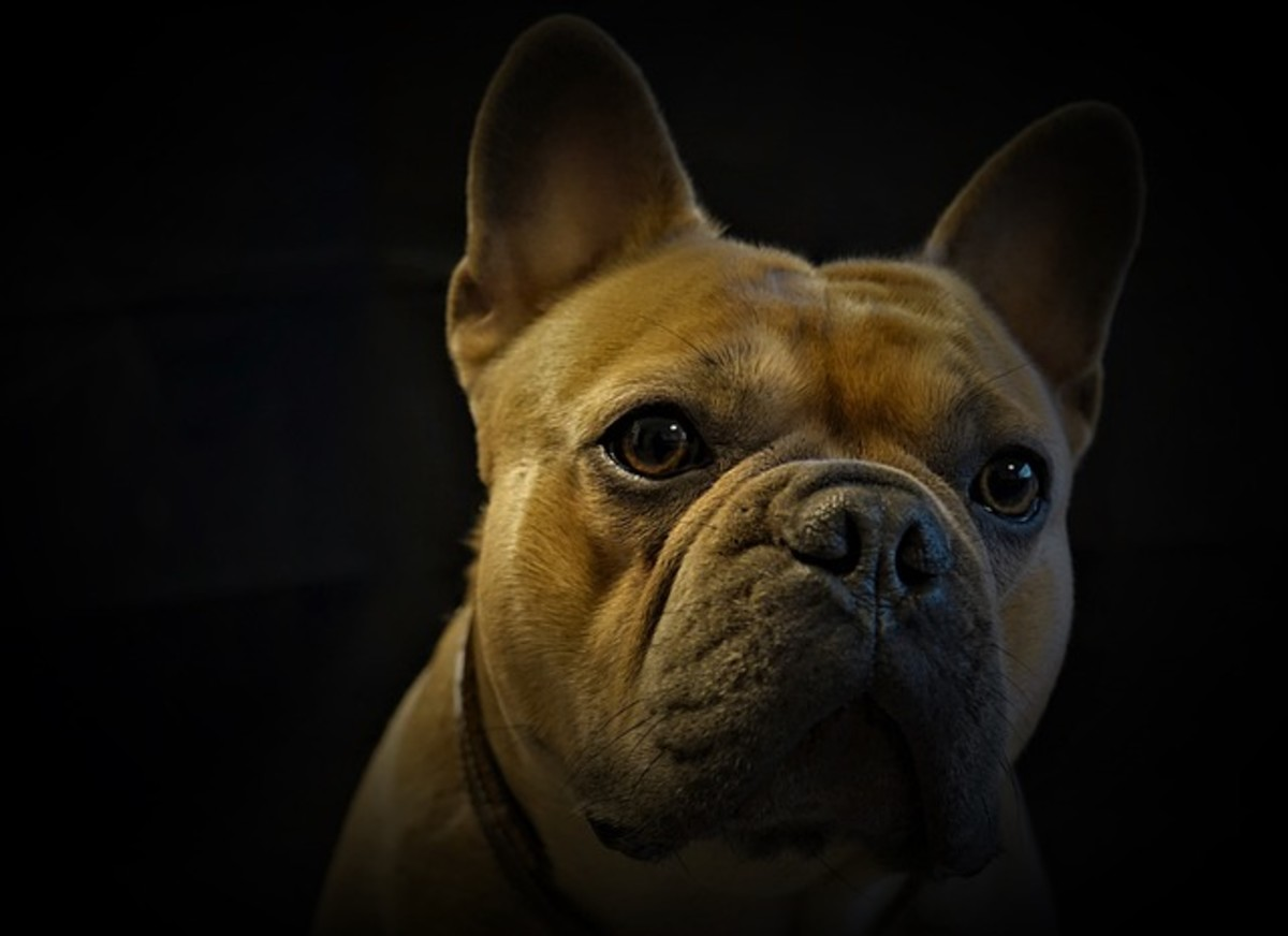 Notice the large pupils in the this French bulldog in a a dark environment