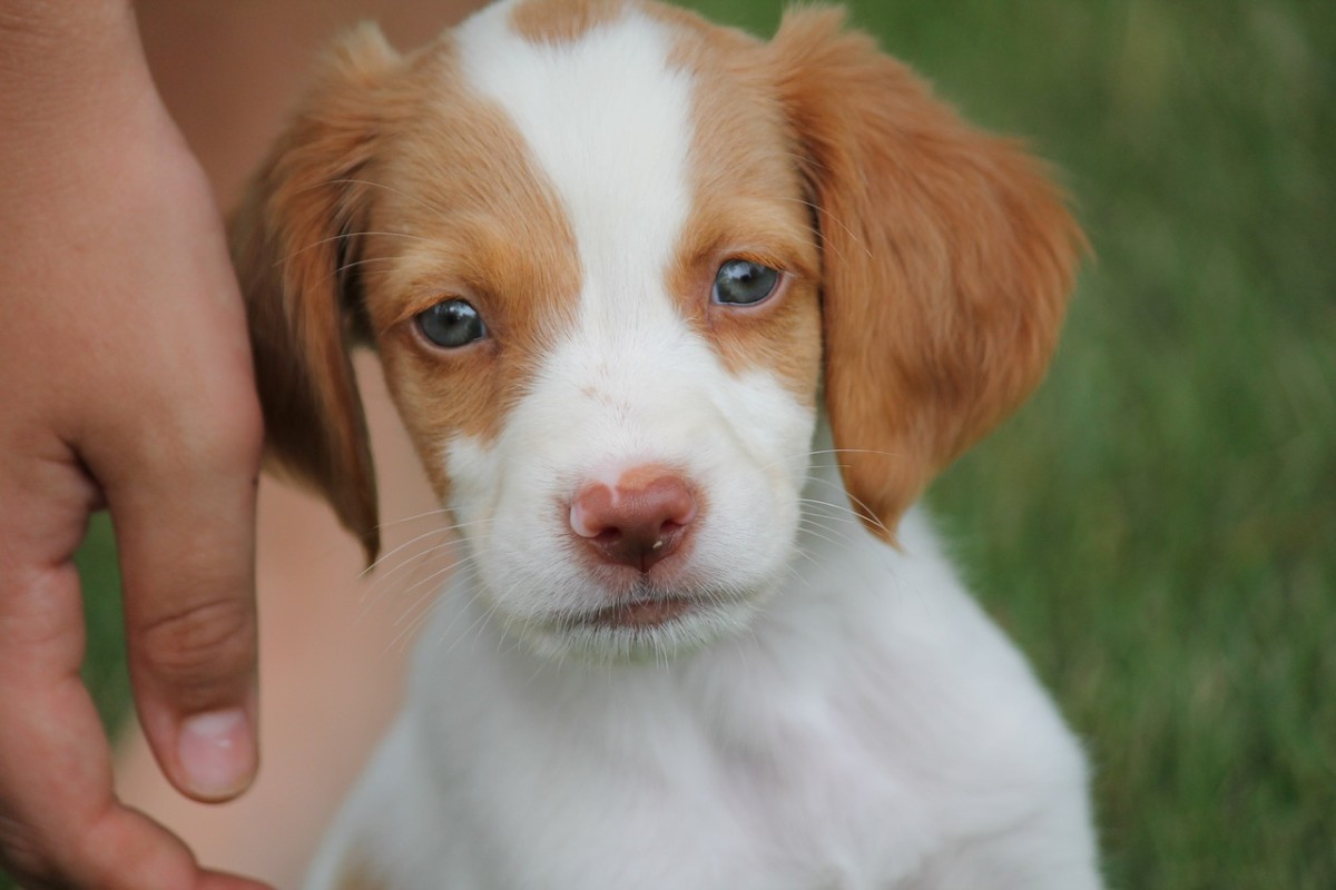 Pictured above is an adorable Brittany Spaniel puppy.