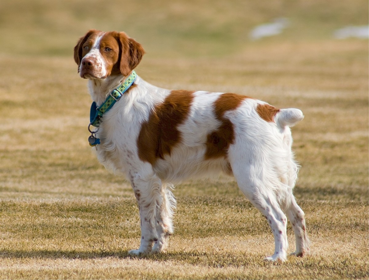 A Brittany Spaniel participating in a local dog show.  Notice the dog's beautiful coat.