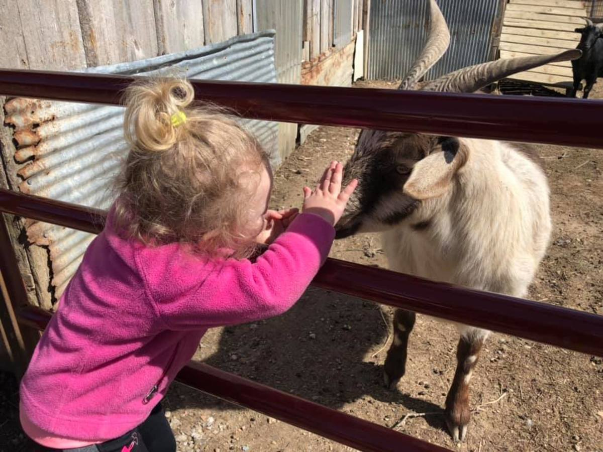 The goats love the attention children give.
