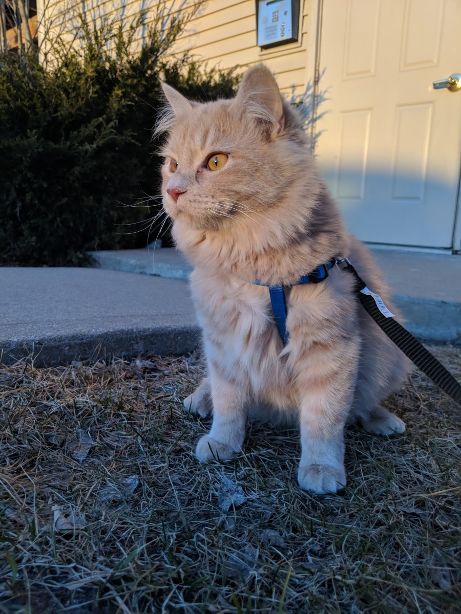 Cats can be trained to walk on a leash. Photo by Rbreidbrown / CC BY-SA (https://creativecommons.org/licenses/by-sa/4.0)