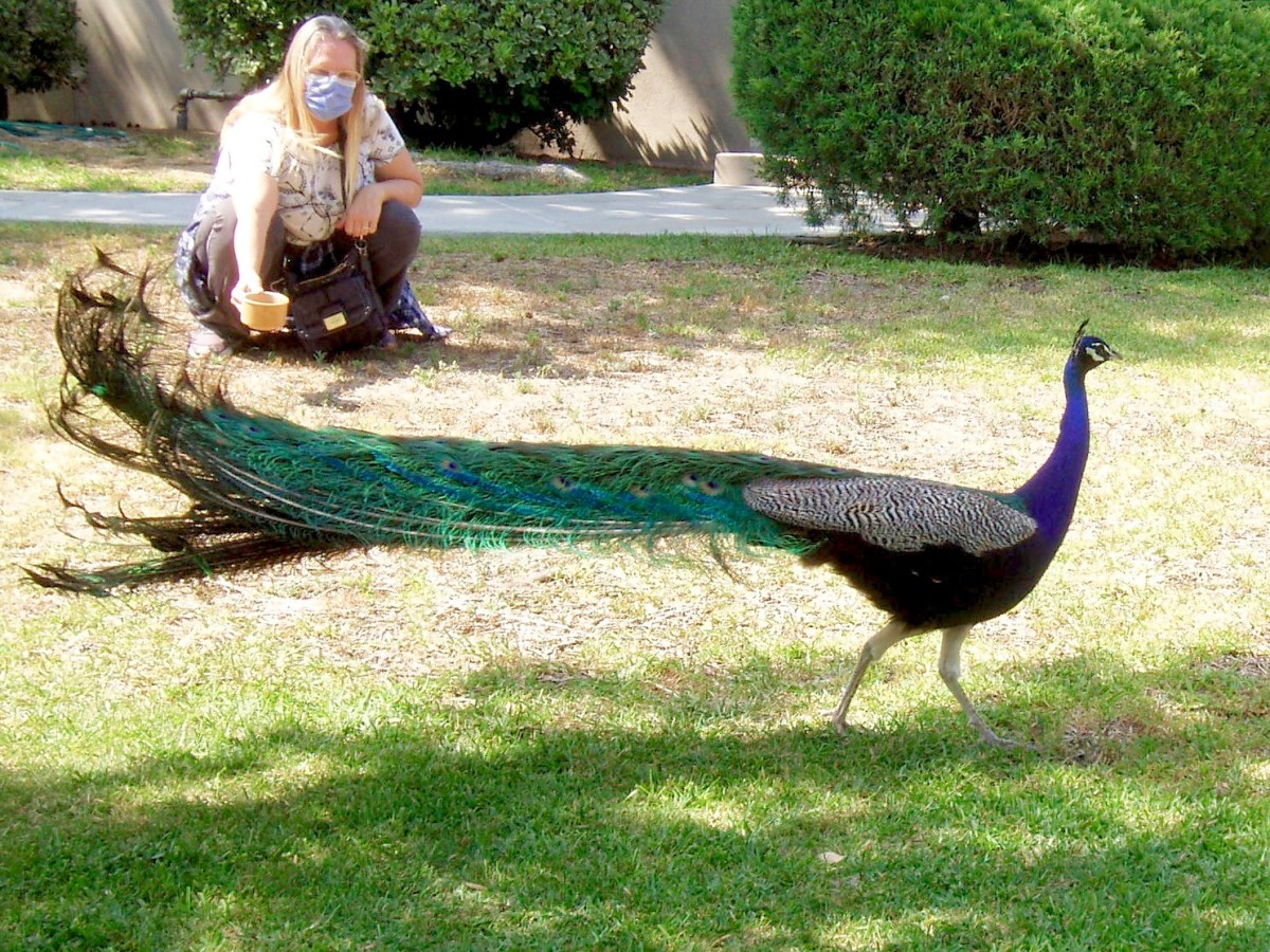 Although this woman usually just throws seeds out, here she is enticing a wary peacock with a cup of bird feed, while I watch.