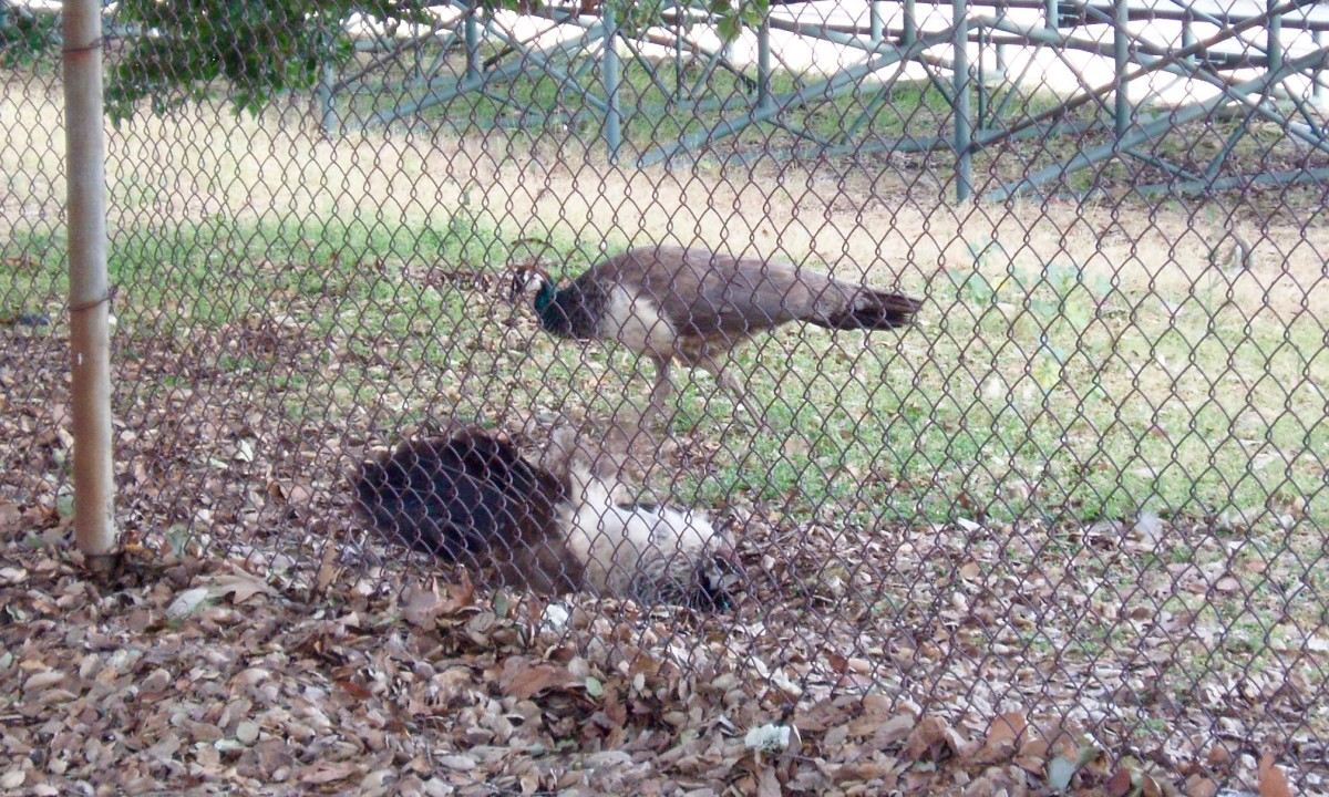 Protected by the school fence, one peahen digs her nest in the ground, while the other keeps a watch out.
