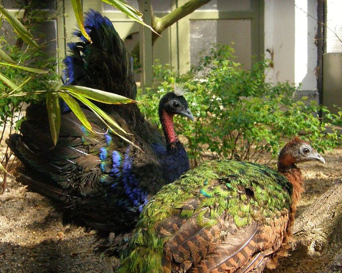 Black peacocks come from the Congo in Africa and have shorter tail plumage.