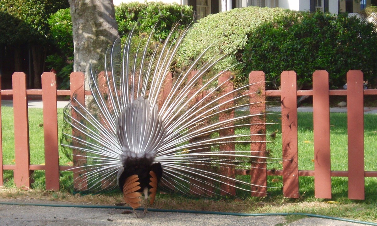 As part of the enticement, males slowly turn their bodies around to show the back side, which they then shudder back and forth, making their feathers shake and rattle. Yes, you can hear the rattle.