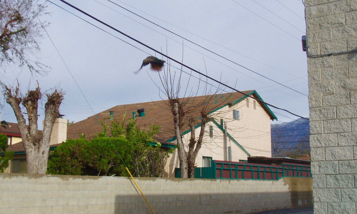 This is about as high as I've ever seen a peacock fly. This one is flying down into the neighborhood from the rooftop of a building on Rosemead Blvd.
