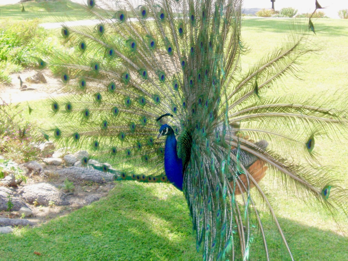This older peacock is in the middle of a rattle. Note how his tail feathers are blurred, as they shake about. You can even see some of them clicking together on the right.