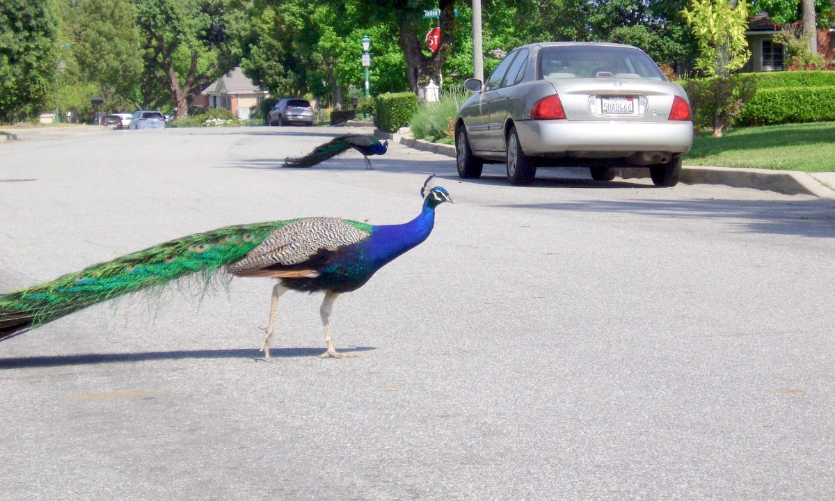 Peacocks are slow-walking birds, so they often stop traffic when they cross the street. They're so beautiful to watch, though, that most people don't mind. This is a street in Arcadia, not far from the Santa Anita Shopping Mall.
