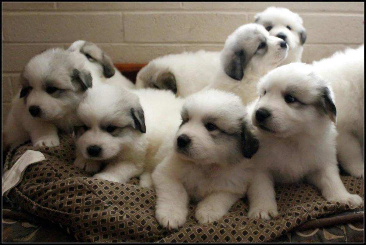 A bundle of Pyr puppies in need of white dog names!