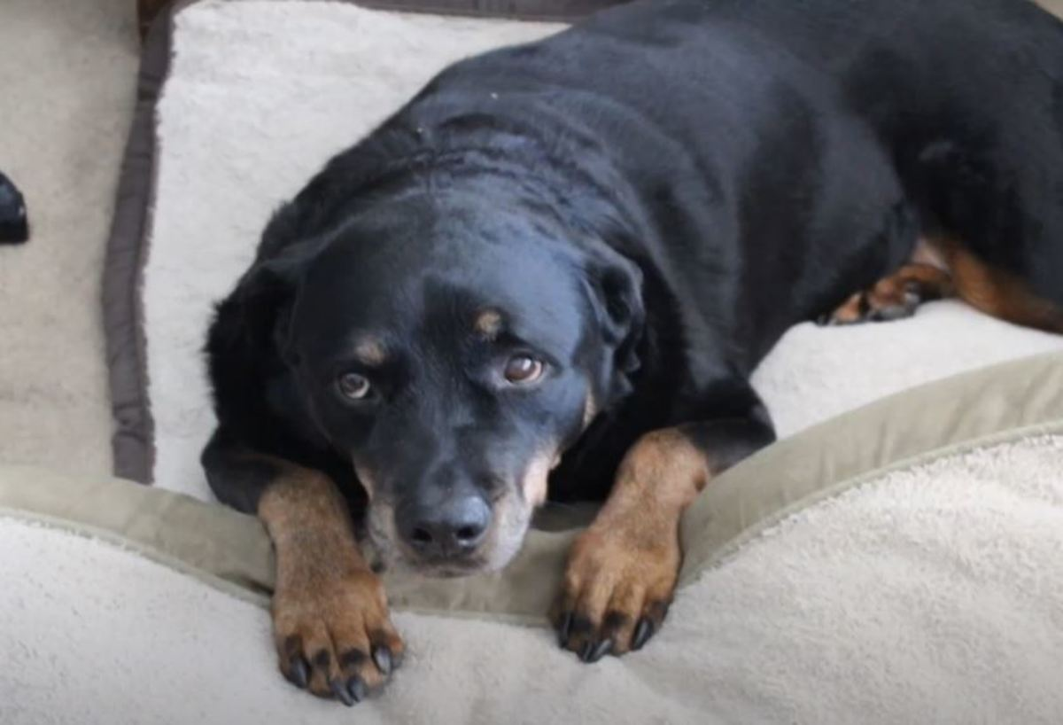 This dog is pain due to a pinched nerve in the neck. Notice the inability to rest and painful expression.