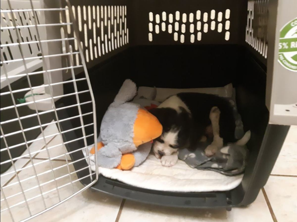 This restless puppy fell asleep in no time with the help of Smart Pet Love's Snuggle Puppy Behavioral Aid.