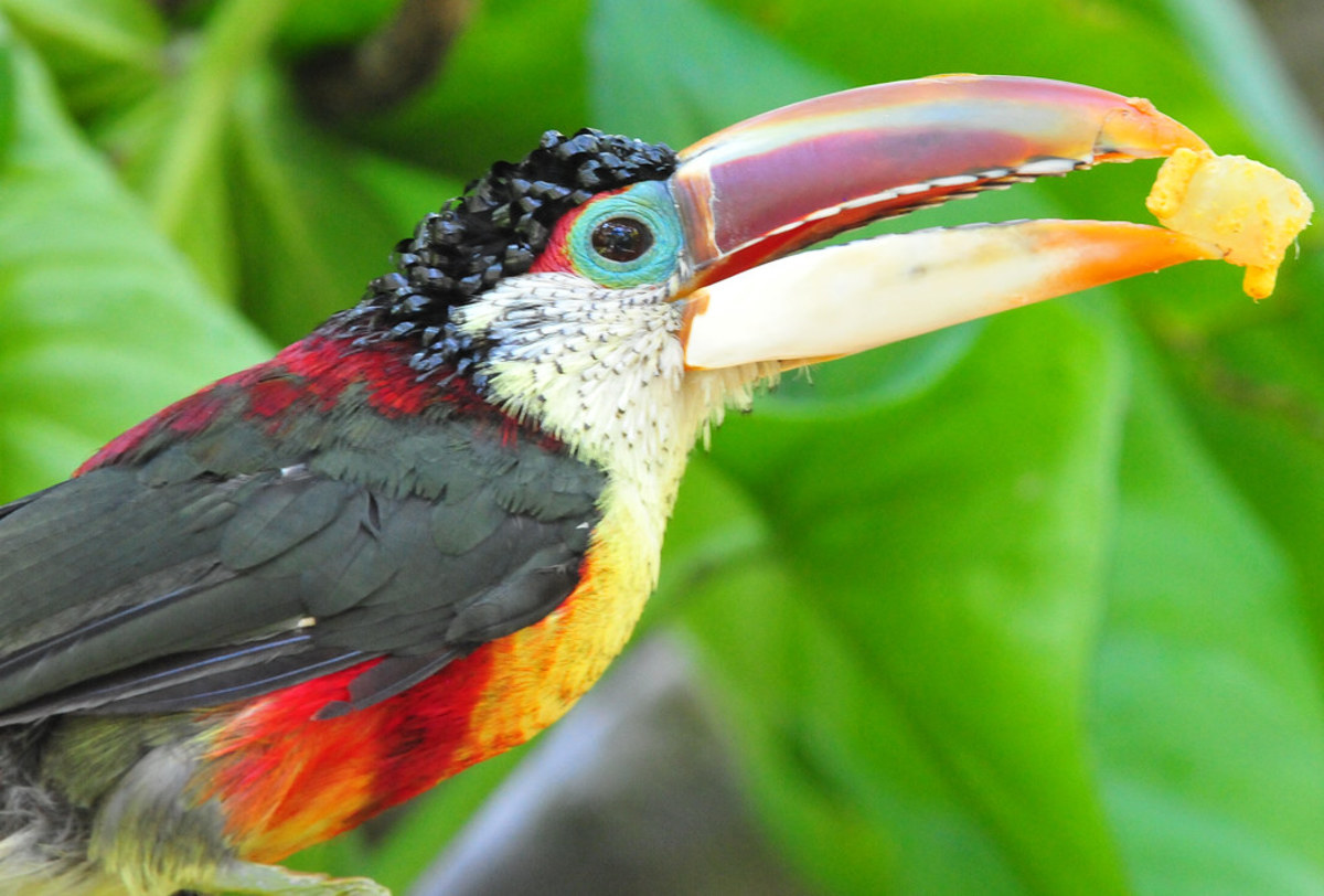 The toucan's beak is surprisingly lightweight, so it can't bite with the force of a parrot. However, its bite can still be painful.