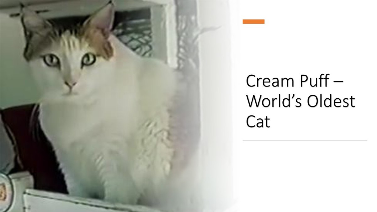 """Creme Puff"", world's oldest cat"
