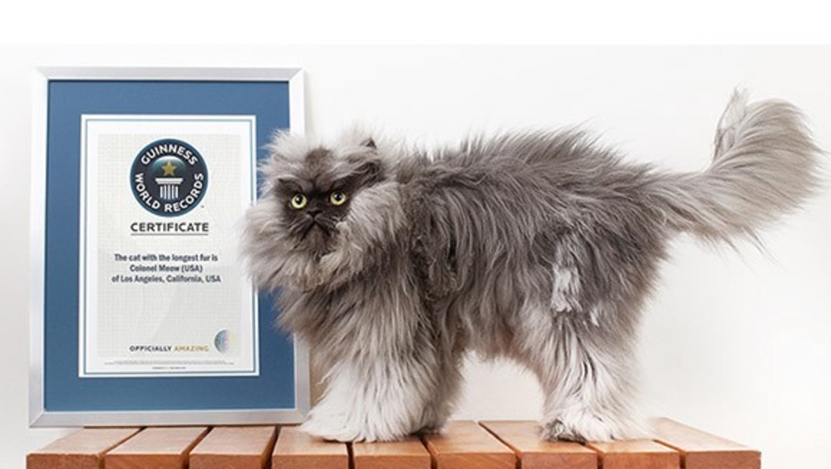 "Colonel Meow holds the Guinness World Record for ""cat with the longest fur."""