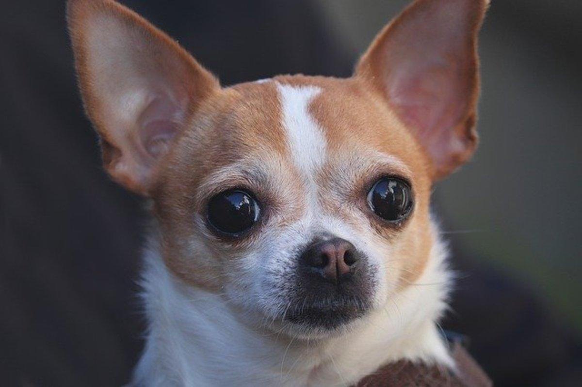 Adorable white and tan Chihuahua.
