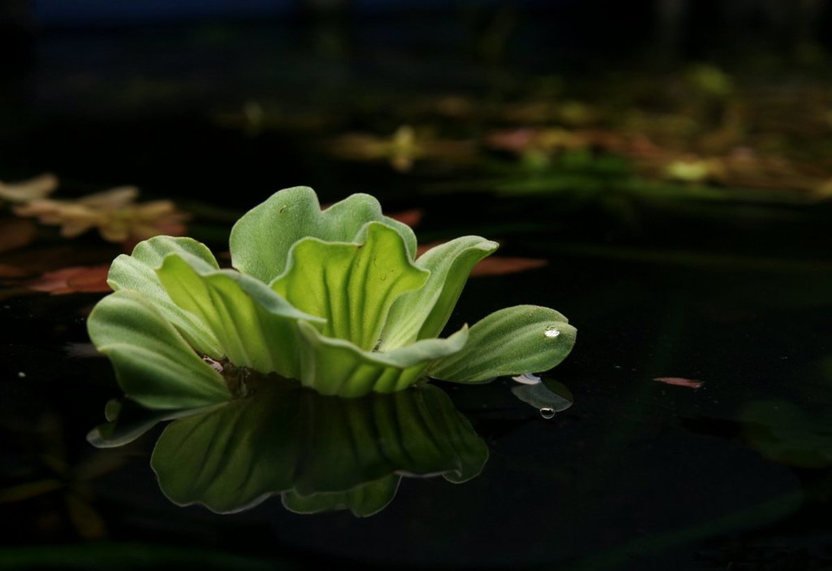Water Lettuce! An ornamental plant that floats on the surface of the water in an aquarium or pond. Shrimp eat and hide in the roots.