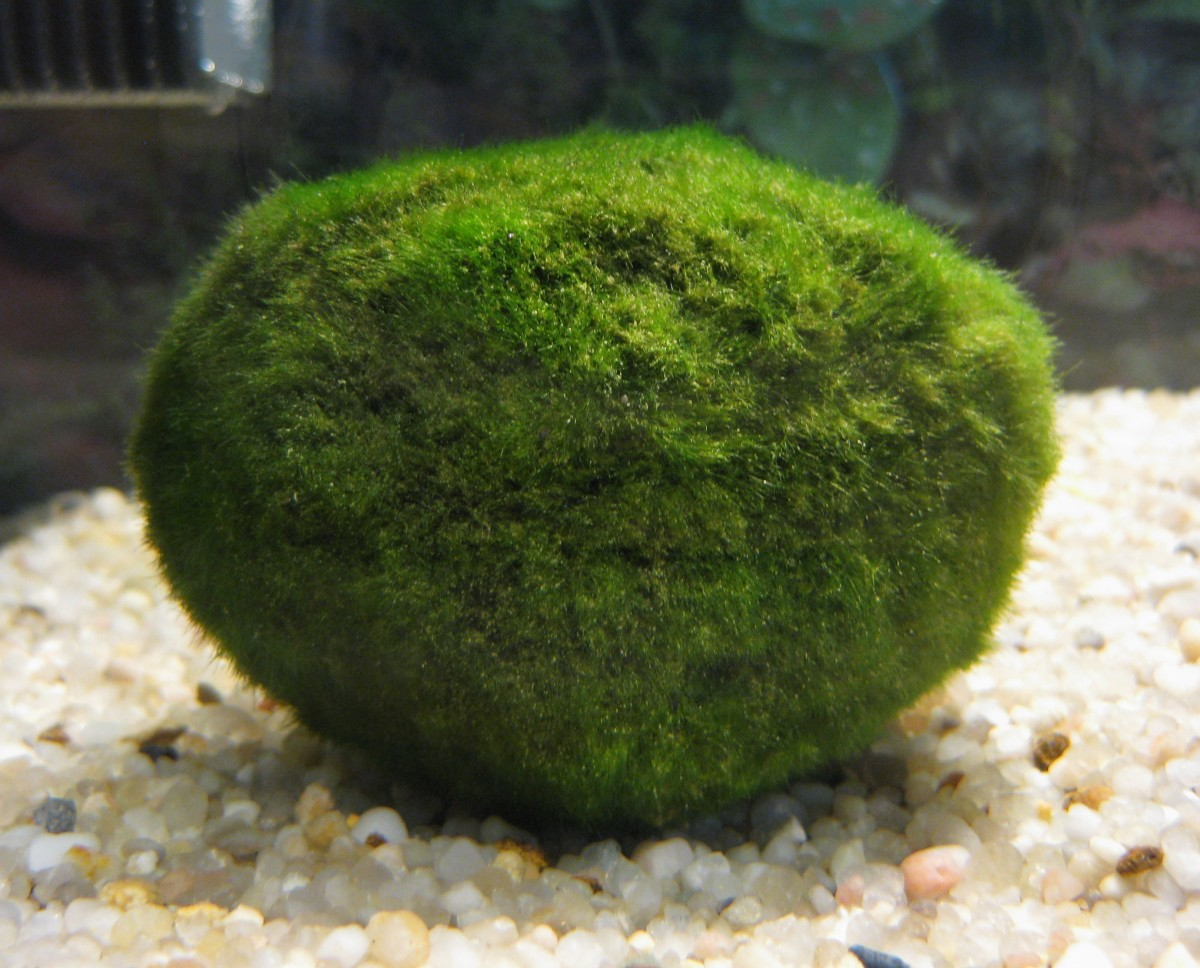 The Marimo Moss Ball comes in bigger and smaller sizes.The greener the ball, the more appealing it will be to the shrimp.
