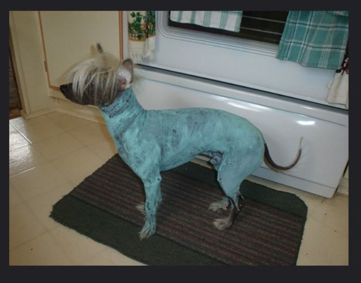 This hairless dog is undergoing a clay firming masque for a skin treatment for blackheads and pimples.