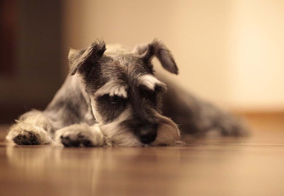 Schnauzers are predisposed to blackheads