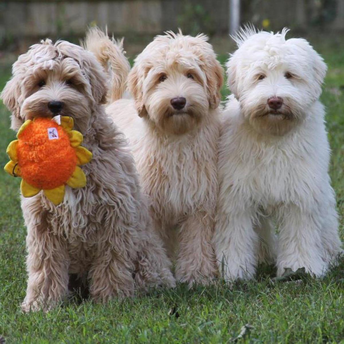 Three full-grown Australian Labradoodles