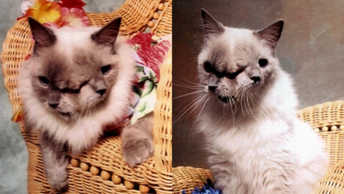 janus-a-rare-two-faced-cat