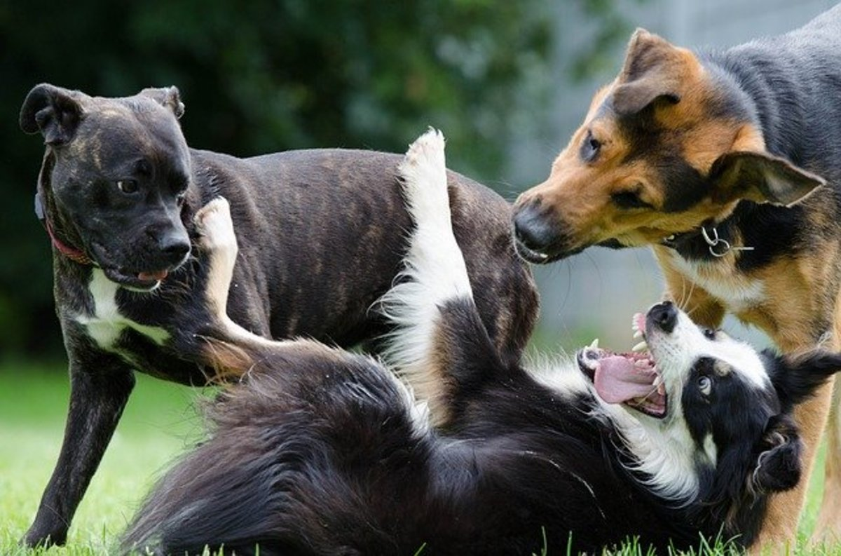 Notice some whale eyes in these dogs playing