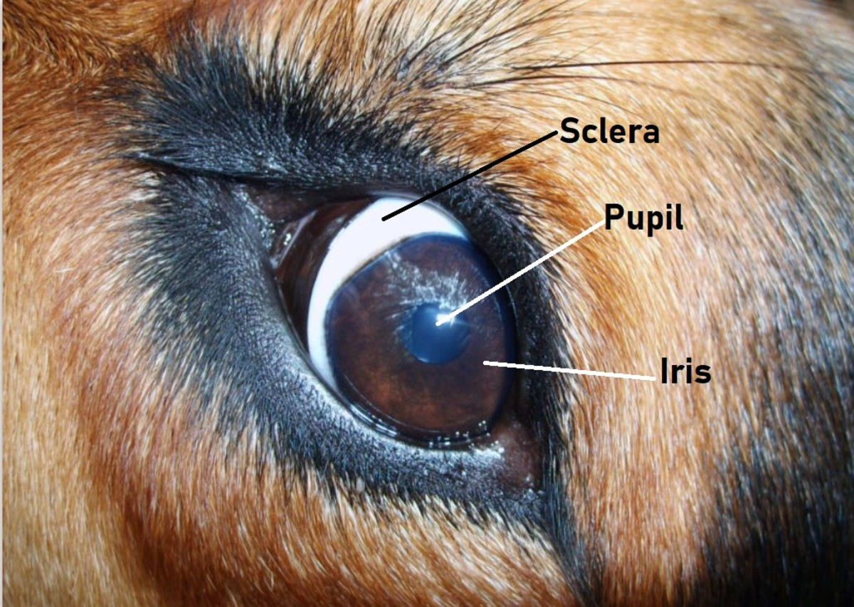 """The sclera is the white portion of your dog's eye. When it shows, the dog is said to display """"whale eyes."""""""