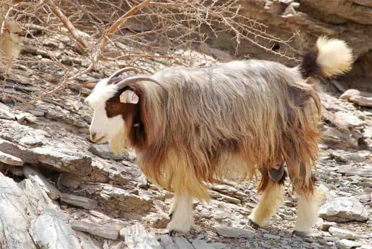 Jabal Akhdar is an important meat breed  among other Omani goats namely Batinah, Dhofari, Jabbali, Sahrawi