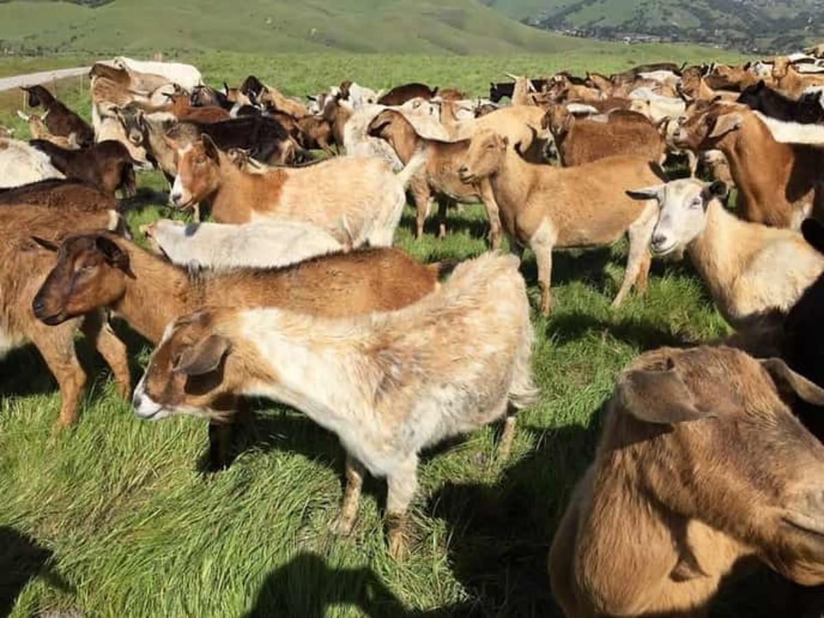 Rangeland goats