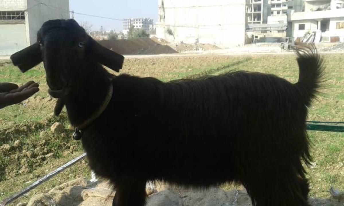 Damascus (Shami) goat