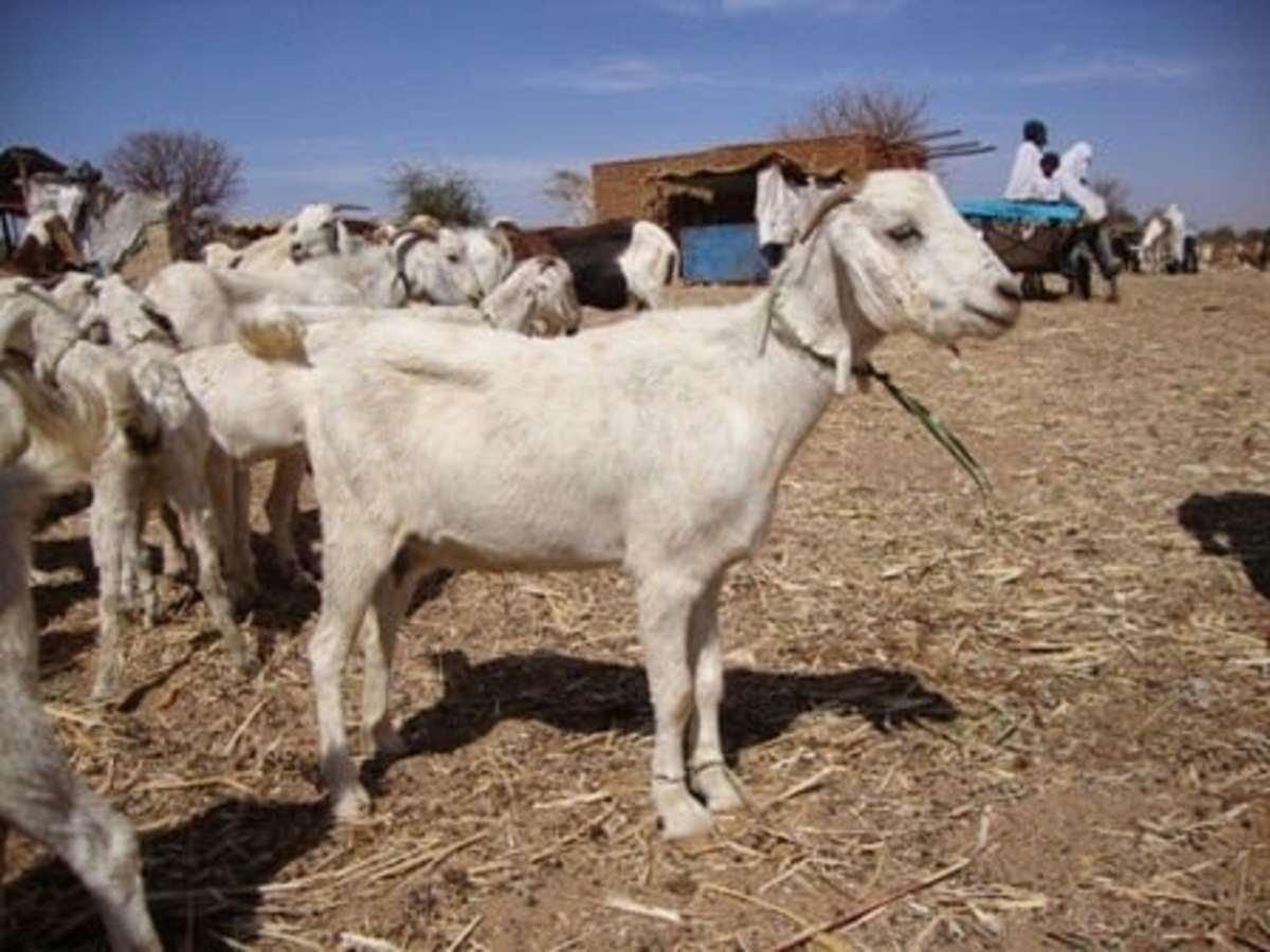 Desert goat breed (Alsarawi)