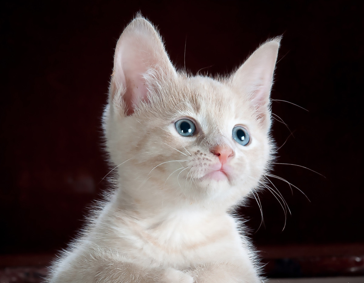 This bright-eyed kitten waits in anticipation for her new name.